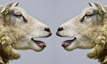 sheep-2372148_640.jpg