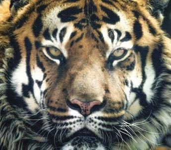 tiger-pixabay.jpg